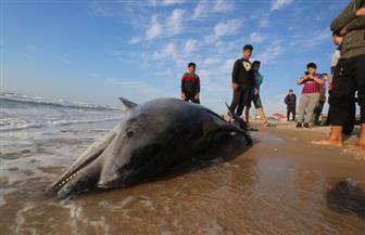 دولفين نافق على شواطئ غزة يجتذب المواطنين | صور