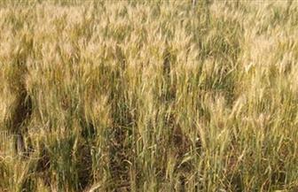 الزراعة: حصاد 893 ألف فدان قمح وتوريد 579 ألف طن