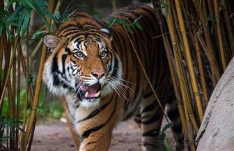إصابة أنثى نمر في حديقة حيوان في نيويورك بفيروس كورونا