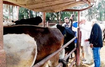 فحص 9255 رأس ماشية ضد البروسيلا و6885 رأس ضد السل البقري بالشرقية | صور