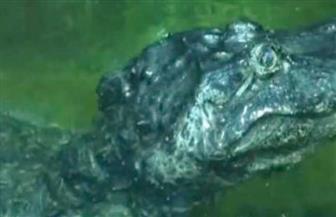 بعمر 84 عاما.. نفوق تمساح هرب من حديقة حيوان برلين أثناء الحرب العالمية الثانية