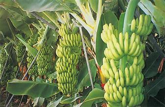 وزارة الزراعة تصدر نشرة بالتوصيات الفنية لمزارعي الموز خلال شهر يونيو