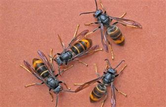 """رصد زنبور آسيوي """"قاتل"""" للمرة الأولى على الأراضي الأمريكية"""