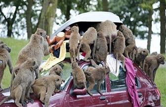 هروب عشرات القرود من حديقة حيوان في اليابان