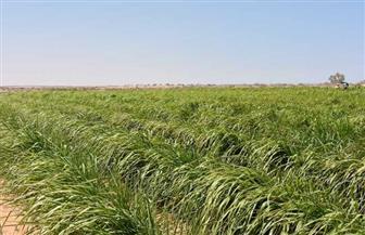 مركز بحوث الصحراء ينجح فى أقلمة البانيكم المتحمل لملوحة التربة والمياه بالصحراء الغربية