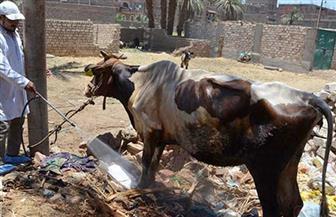 رش 160 ألفا و461 رأس ماشية وتجريع 30 ألفا و135 آخرين لمكافحة الطفيليات بالشرقية