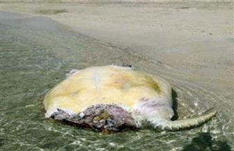 وزيرة البيئة: علامات أسنان القرش واضحة على السلحفاة النافقة بساحل محمية وادي الجمال