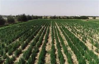 إبادة 2 فدان منزرعة بنبات البانجو بإحدى المناطق الجبلية بجنوب سيناء