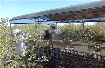 لأول مرة مشروع إنتاج عسل نحل طبيعي على غابات «المانجروف» بالبحر الأحمر | صور