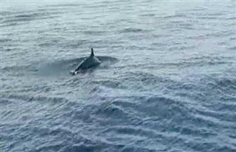 محميات البحر الأحمر ترصد مجموعة من الدرافيل النادرة