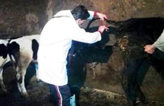 الزراعة: تحصين أكثر من 1.9 مليون رأس ماشية ضد حمى الوادي المتصدع