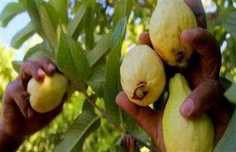 """""""الزراعة"""" تصدر نشرة مصورة بالتوصيات الفنية لمزارعي الجوافة خلال شهر يوليو"""