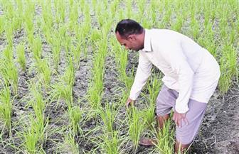 وزارة الزراعة تصدر نشرة بالتوصيات الفنية لمزارعي الأرز يجب مراعاتها خلال شهر يوليو