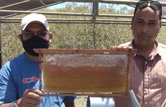 جمع  القطفة الأولى من إنتاج عسل النحل من نبات المانجروف بالمحميات الطبيعية بسفاجا | صور