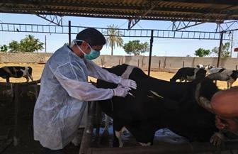 «الزراعة»: تحصين 2.2 مليون رأس ماشية ضد الحمى القلاعية وحمى الوادي المتصدع