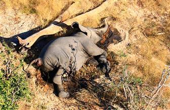 نفوق جماعي لأفيال بوتسوانا يربك السلطات بالبلاد ..تعرف على لغز المرض الغامض| صور