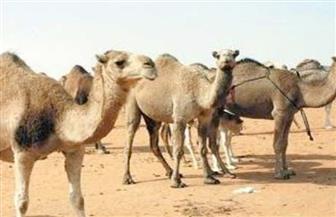 الرقابة على الصادرات والواردات تستقبل 82 ألفا و401 رأس حيوانات حية استعدادا للعيد