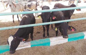 تعرف على حقيقة تفشي مرض الدرن بين الماشية بمختلف محافظات الجمهورية