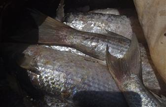 ضبط 900 كيلو أسماك غير صالحة للاستهلاك الآدمي بالفيوم| صور