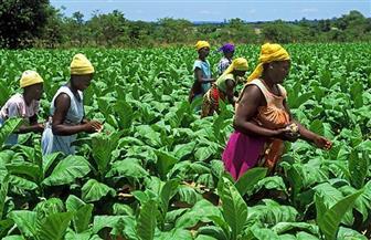 زيمبابوي: الانتعاش الاقتصادي يعتمد بشكل أساسي على تنمية قطاع الزراعة