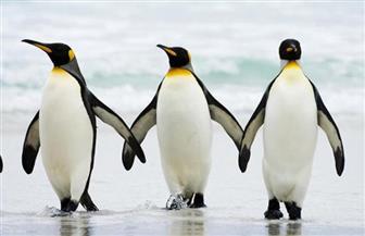 اكتشاف 11 مستعمرة لم تكن معروفة من قبل للبطريق في القارة القطبية الجنوبية