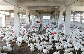 تطوير مزرعتي دواجن بدمياط أنتجتا 6500 فرخ وبيعها بأسعار مخفضة | صور