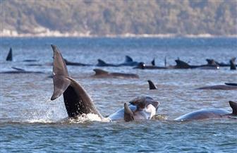«القتل الرحيم».. خيار أخير لإنهاء معاناة حيتان جانحة عند خليج في تاسمانيا