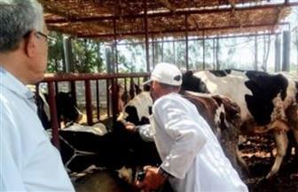 الزراعة: تحصين أكثر من نصف مليون رأس ماشية ضد مرض الحمي القلاعية والوادي المتصدع في 3 أيام
