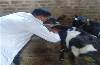 استمرار الحملة القومية لتحصين الماشية ضد الحمى القلاعية بأسيوط