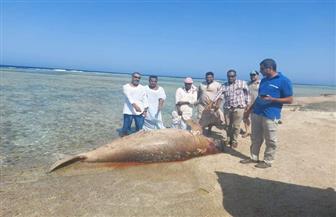 وزارة البيئة: نفوق عروس البحر بمرسى علم حادث عرضي غير ناتج عن محاولات للصيد