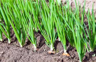 «الزراعة» تصدر نشرة بالتوصيات الفنية لمزارعي محصول البصل خلال أكتوبر