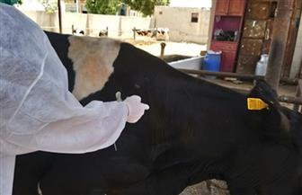 6 قوافل بيطرية لعلاج وتحصين المواشي وتدريب المربين على التلقيح الاصطناعي بمحافظة القليوبية