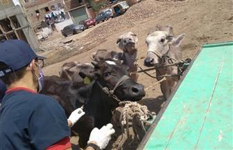 قوافل بيطرية علاجية إرشادية لعلاج الماشية من الأمراض بمراكز كفر الشيخ | صور
