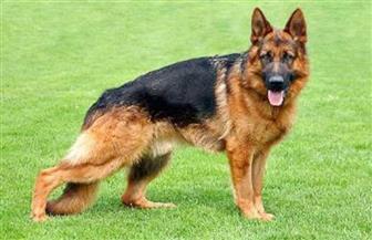 كلب من فصيلة شبرد يضحي بنفسه لإنقاذ صاحبه من النيران بألمانيا
