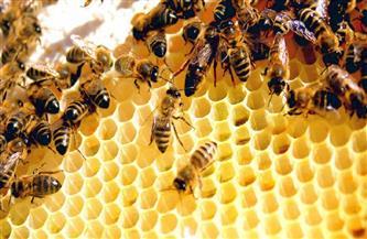 """مواطنون يتحصنون بـ""""سم النحل"""" من """"كورونا"""".. ومطالب بدخوله تجارب اللقاحات"""