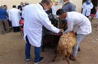 قافلة طبية بيطرية لتجريع المواشي وفحص 129 رأسًا بالحسينية| صور