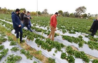 """""""الزراعة"""": لأول مرة في دمياط.. نجاح تجربة زراعة الفراولة بالتنقيط   صور"""