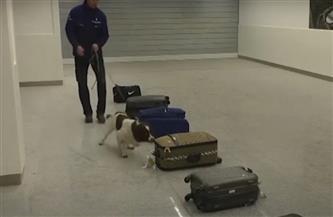مفاجأة .. استخدام الكلاب للكشف عن المصابين بفيروس كورونا/ فيديو
