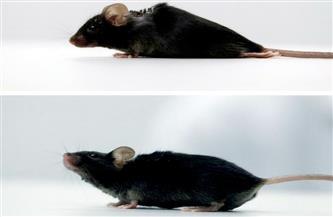 """تجربة """"فأر مشلول"""" استطاع المشي تحمل الأمل لملايين البشر"""