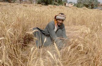 """""""الزراعة"""" تصدر نشرة بالتوصيات الفنية لمزارعي محصول القمح خلال فبراير"""