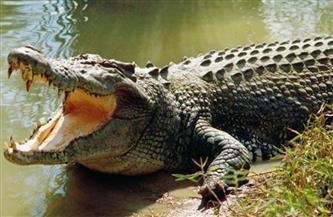 أسترالي نجح في تحرير نفسه من فكي تمساح
