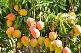 «الزراعة» تصدر نشرة بالتوصيات الفنية لمزارعي محصول المانجو  خلال شهر فبراير