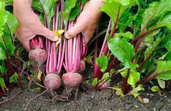 استلام محصول البنجر من المزارعين بجداول منظمة فبراير المقبل