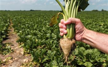 الزراعة-;مولاس-البنجر;-علاج-لملوحة-التربة-ودراسات-لتكثيف-فوائده