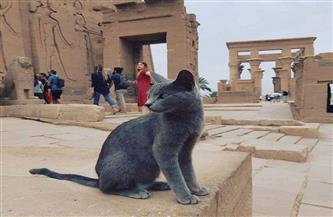 من السلالات المصرية القديمة.. تعرف على حكاية قط معبد فيلة   صور