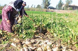 أبواليزيد: كفر الشيخ تستحوذ على 25% من إجمالي المساحات المنزرعة من بنجر السكر