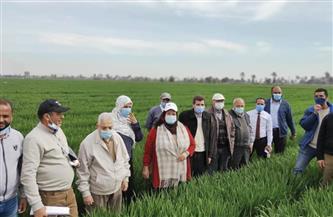 الزراعة: زيارات ميدانية على زراعات القمح لتنفيذ التوصيات الفنية| صور