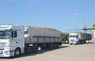 بدء توريد محصول 250 ألف فدان بنجر لمصنع السكر بكفرالشيخ| صور