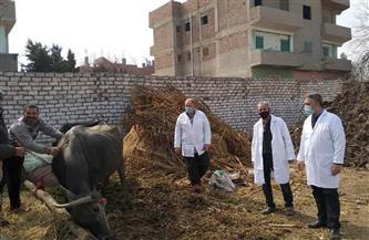 تحصين 107 آلاف رأس ماشية ضد الحمى القلاعية والوادي المتصدع في المنوفية| صور