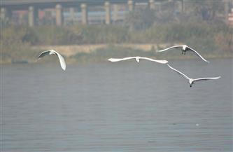 شاهد رحلة الطيور المهاجرة في الجزر النيلية| صور
